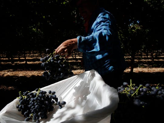 "Margarita Soto harvests ""Midnight Beauty"" grape in Mecca. The Coachella Valley produced 88 million pounds of table grapes in 2017."