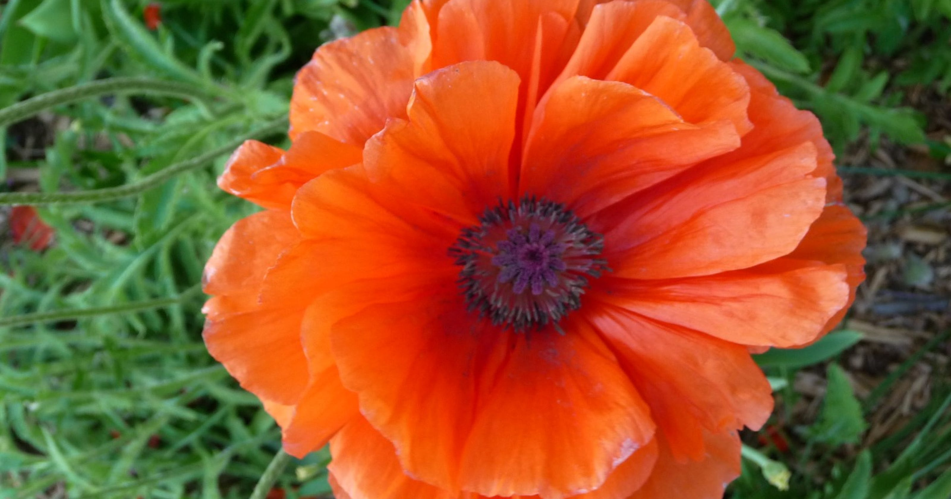 Columnist Oriental Poppies Are Bold And Vibrant