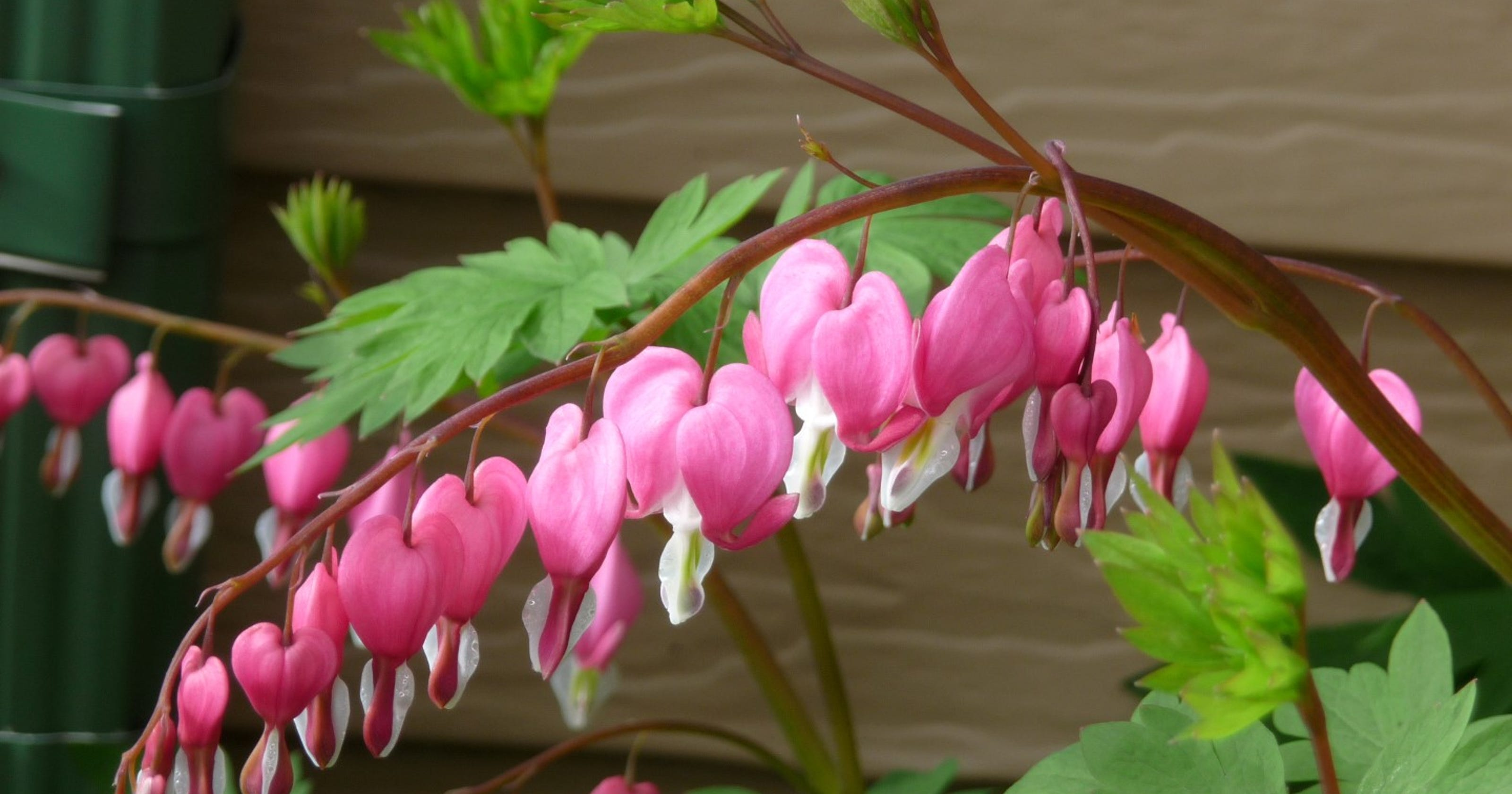 Bleeding Hearts Are Dainty But Hardy