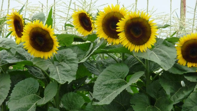 Sunflowers are easy to grow in Wisconsin, as well as North America as a whole.