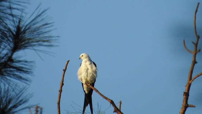 Alan Knowles spotted this swallow-tailed kite at Gator Hole Preserve in southeastern Lee County.