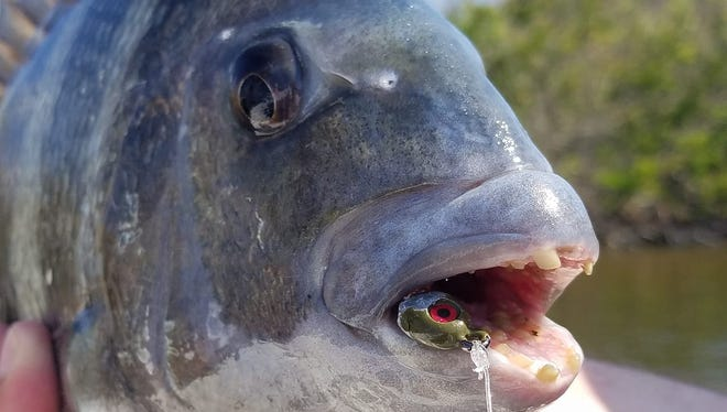 Sheepshead are being caught in select spots on natural baits and jigs.