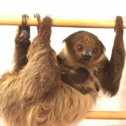 Maple, a two-toed Hoffmann's sloth, clings to her mother,