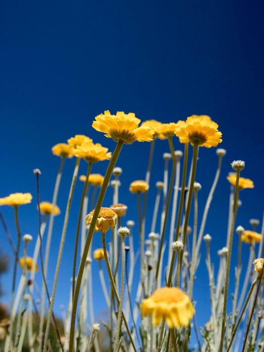 PNI 0906 brian kissinger Desert Marigold
