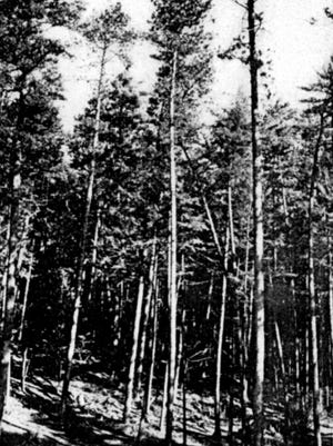 A photo of Cathedral Pines in northern Oconto County from  the 1920s and believed to have been taken by Lucy Holt, who persuaded her husband years earlier to preserve the timber there.