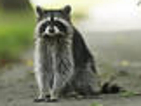 Raccoon tested positive for rabies in North Brunswick