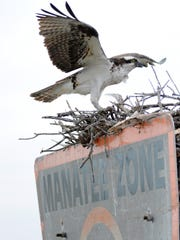 An osprey settles back down on its nest, with chicks