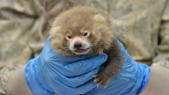 Erie Zoo veterinarian P.J. Polumbo holds a 4-week-old female red panda cub on Thursday at the zoo. This cub and her sibling, a male, are being hand-fed after their 7-year-old mother, Delilah, was unable to nurse them.