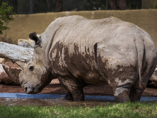 LouLou, a 20-year-old white rhino has come to the Phoenix Zoo from the San Diego Zoo Safari Park.