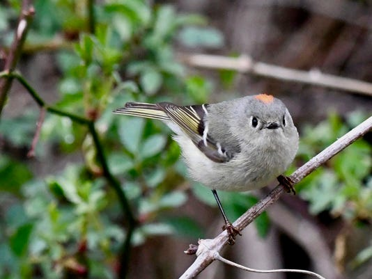 636606735526014221-H-Cowen-Ruby-crowned-Kinglet-DSC-3487-2-.jpg