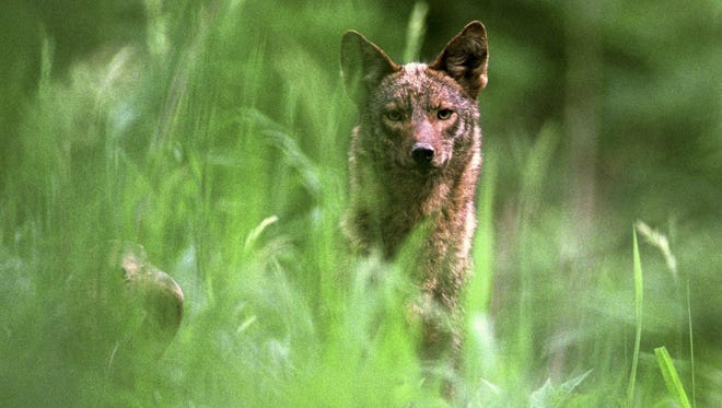 Coyotes are a threat to deer populations.