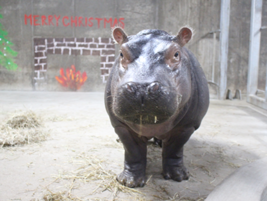 Fiona the hippo celebrating her first christmas is the - Cincinnati home and garden show 2017 ...