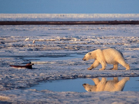 In this undated file photo, a polar bear is shown in the Arctic National Wildlife Refuge in Alaska.