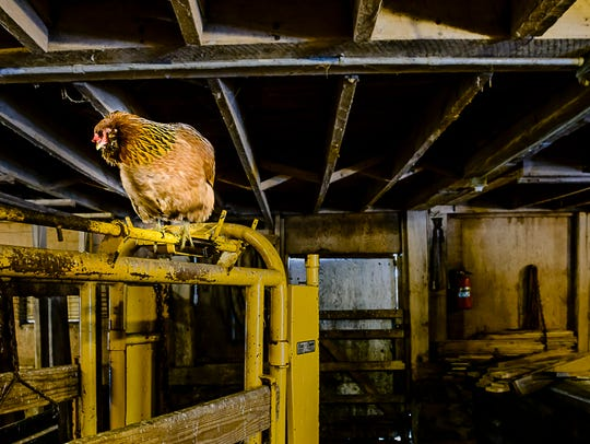 A 6-year-old chicken roosts in her familiar location