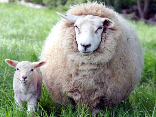 Ewe_and_lamb_in_Kent.jpg