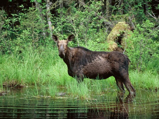 The Midwest moose offer an example of just how damaging the new regulations will be, Adkins writes.