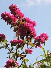 Recently fertilized Vera bougainvillia has vigorous