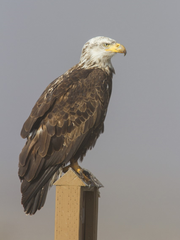 Four-year-old eagle