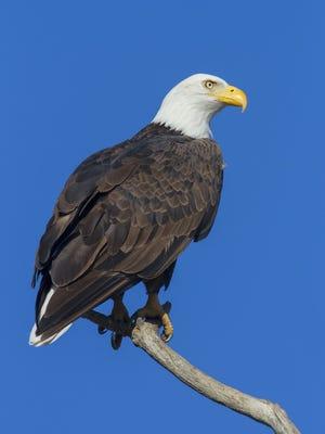 Adult eagle.