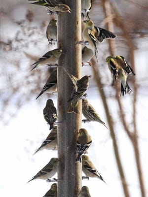 Are American goldfinches now the same ones from last summer? The Evansville Birding Class will help you know--and recognize that four of these 17 birds aren't goldfinches but pine siskins.