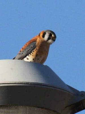 A male American kestrel hunts from a tall light pole, eyeing prey in the short vegetation below, diving, then snaring it with his sharp talons.
