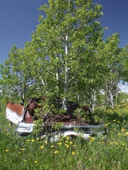 Of the many artifacts Stone found one of the most interesting is this old car with the aspens growing through it.