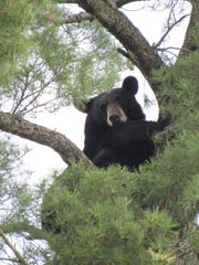 A black bear in a tree near the intersection of East