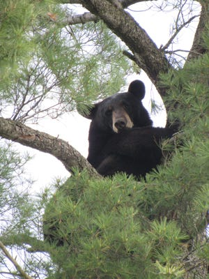 A black bear in a tree near the intersection of East Riverview Expressway and Lincoln Street in Wisconsin Rapids