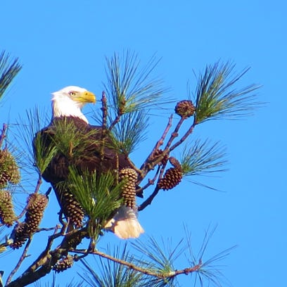 Bald eagle recovery soars in Alabama