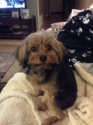 Rudy the Shorkie was found off of Hermitage Boulevard Tuesday after having been missing for a week.
