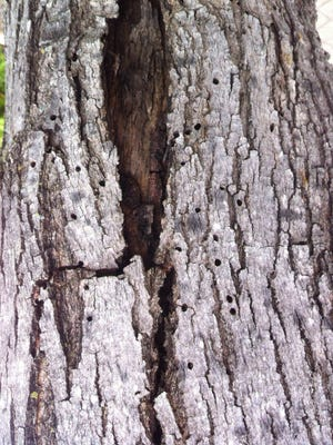 Ambrosia beetles make small round holes as they bore into trees, while flat-headed borers are larger and D-shaped.