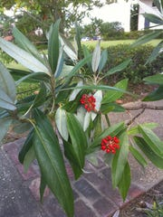 The sweetbay magnolia produces bright red seeds that