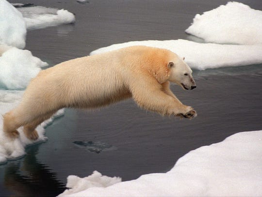 A polar bear makes a giant leap from one ice floe to