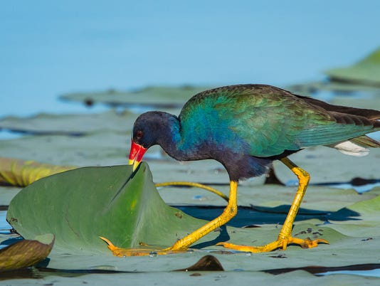Purple-Gallinule-WIF.jpg