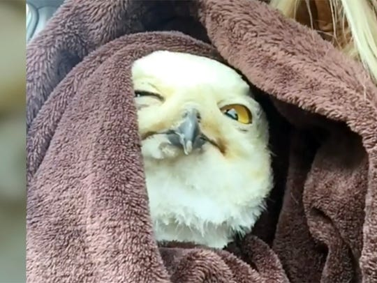 Ashley Albright took this injured snowy owl she found
