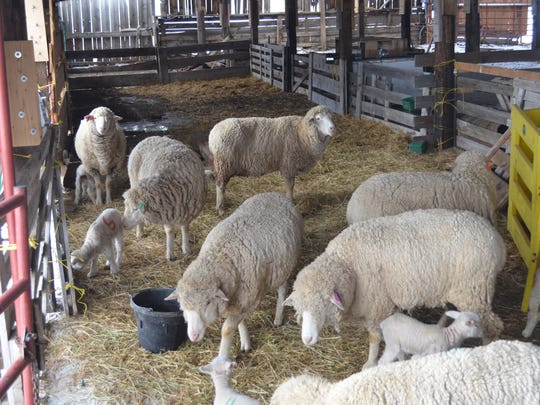 Ewes and Rambunctious' offspring stay warm and dry in the barn at the Graham Ranch.
