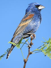 An adult male Blue Grosbeak  is seen at Texas Canyon.