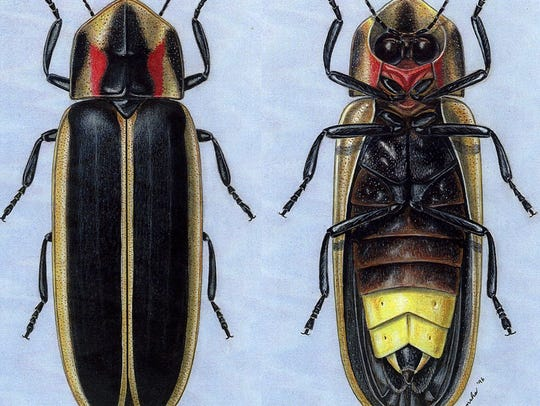 Say's firefly took its name in the 1800s from self-taught