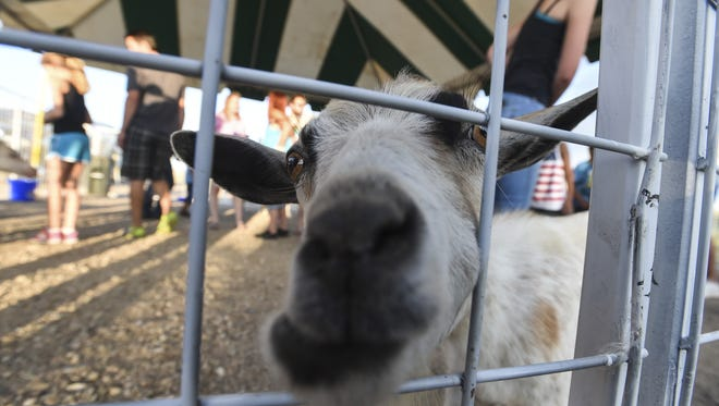 A goat sniffs through the gate of the petting zoo at the Larimer County Fair, Friday, July 31, 2015, in Loveland, Colo.