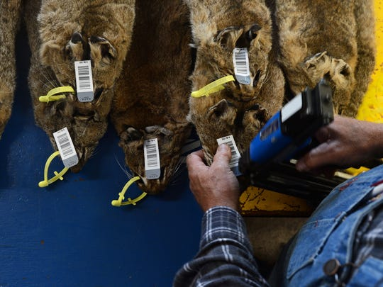 Tom Tyree attaches a bar code tag on a group of bobcat
