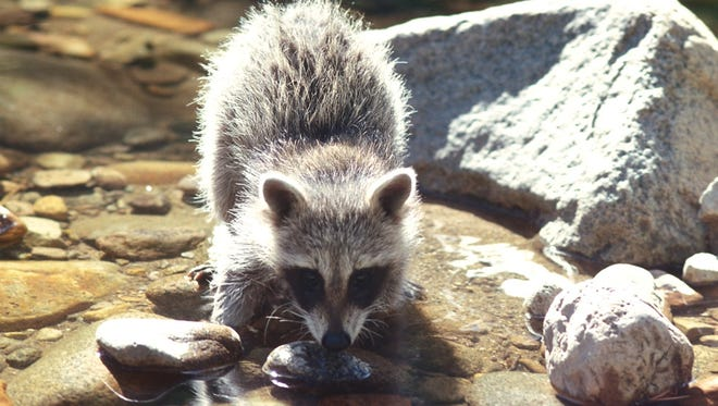 Raccoons may look cute but can become a problem when they get into unsecured pet food or garbage.