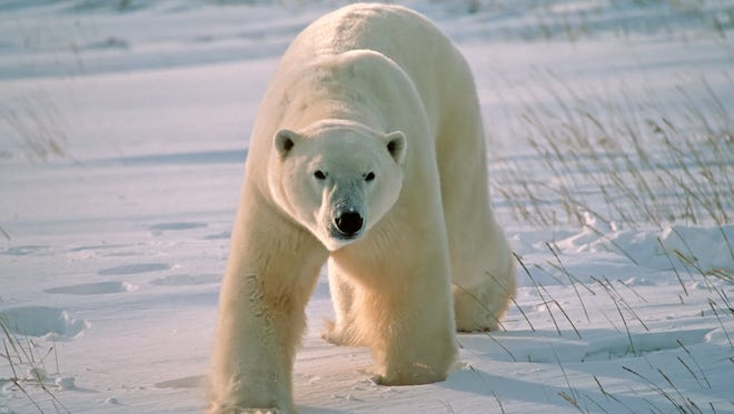 Polar bears have caused a northern Canadian community to cancel its outdoor Halloween celebrations.