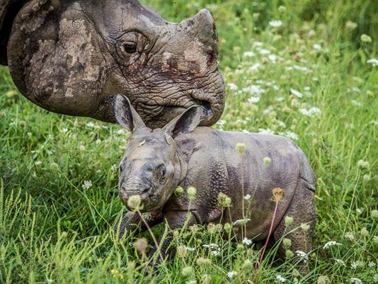 Rhino calf 003, Jeff Hammer.jpg