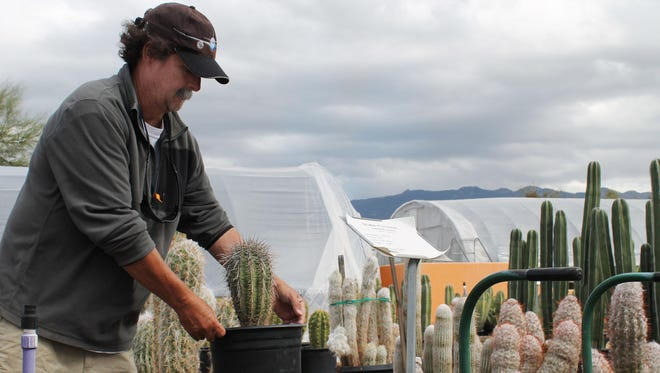 Mark Sitter, owner of B&B Cactus Farm in Tucson, loads a small saguaro cactus onto a cart for a customer. Saguaro National Park plans to work with plant nurseries to scan cactus inventories for tagged saguaros.