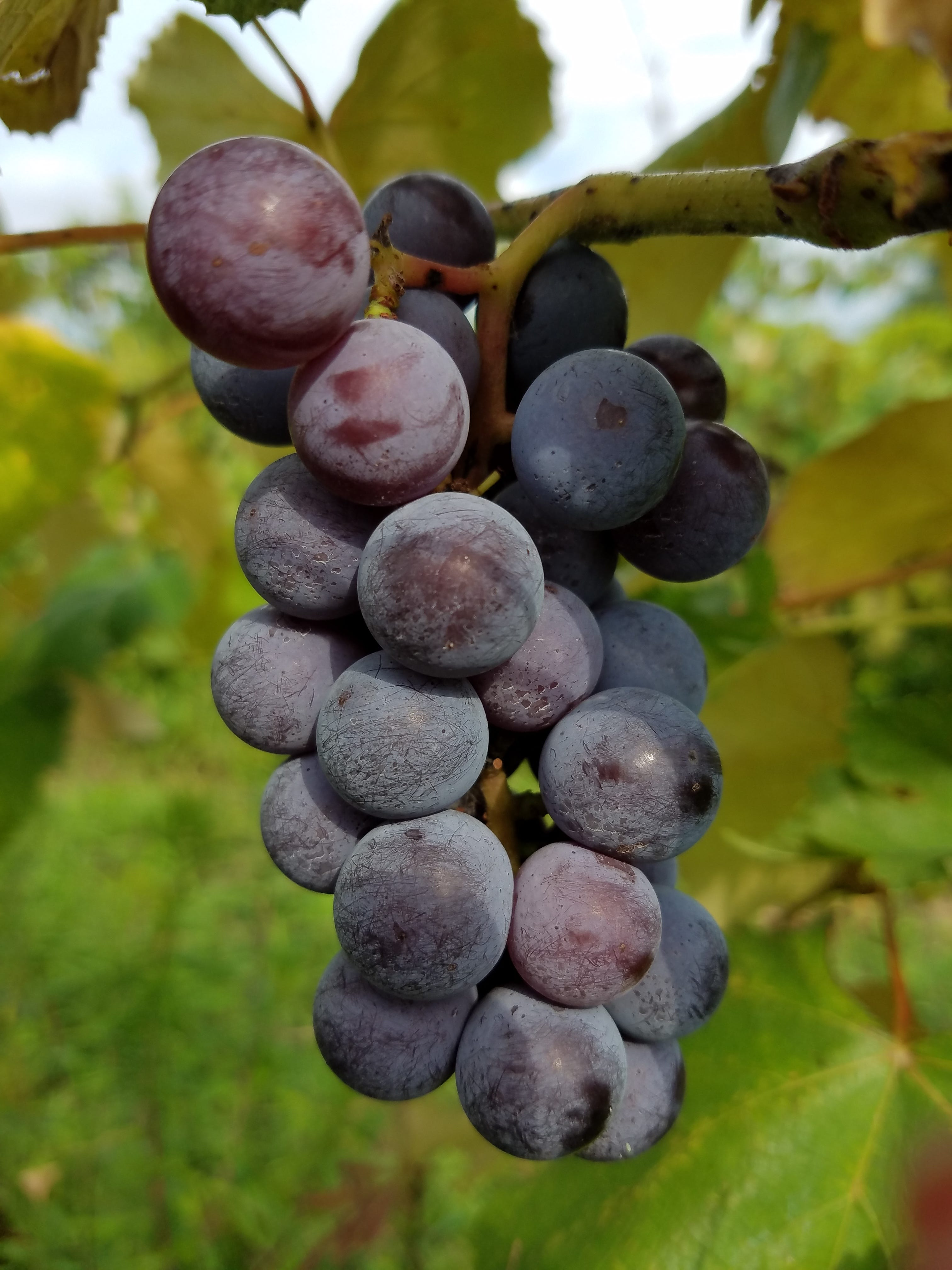 Grapes Augustine: photos and description of the variety, advantages and disadvantages, planting and care, reviews 12