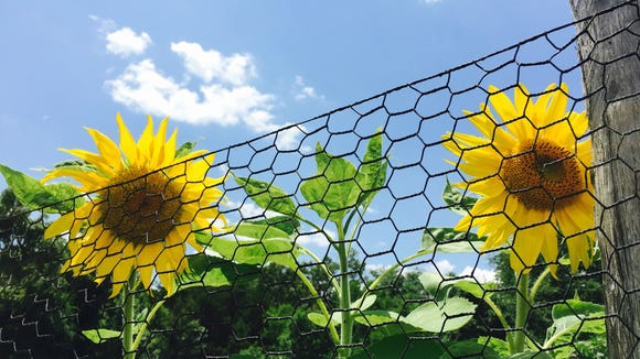Sunflowers stretch their faces to the sky at the retreat center.