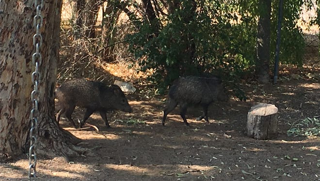 Two javelinas showed up for school in the playground of a Mesa Montessori school on Tuesday morning.