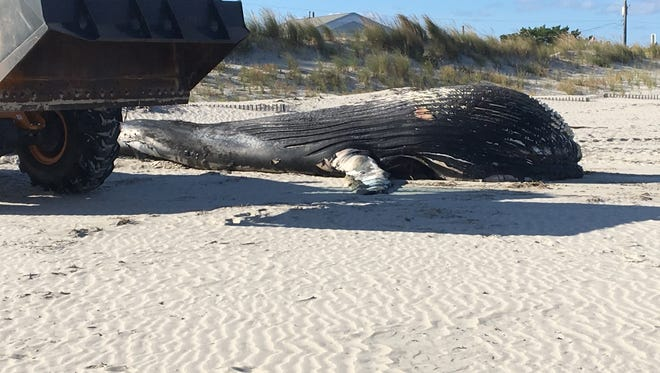 A dead humpback whale washed up on the beach at the Jersey Shore in Sea Isle City Friday.