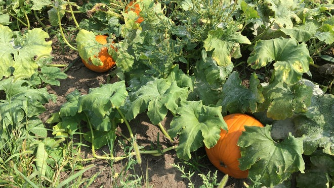 Pumpkins will be sold on the first and second weekends in October at Riverview Christmas Tree Farm near Canton.