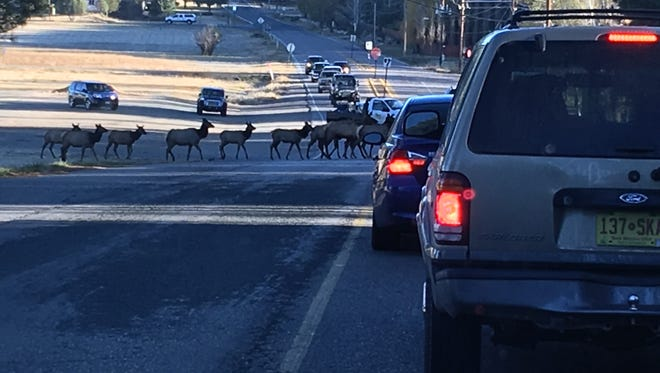 Because it can. Traffic on Hull Road just had to wait Tuesday morning when a herd of about 40 elk decided the grass was greener on the other side.